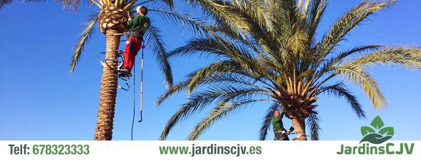 Tratamientos de palmeras y pinos Mallorca